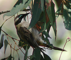 Black-chinned Honeyeater kurwongbah aug03.jpg
