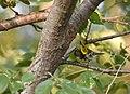 Black-throated Green Warbler (43189503250).jpg