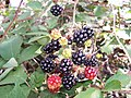 Blackberry fruits14.jpg
