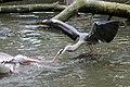 Blauwe reiger en pelikaan vechten om een vis.JPG