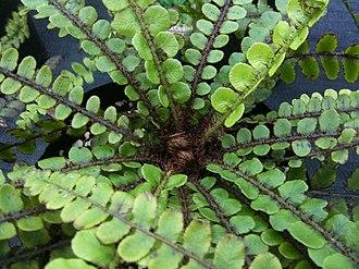 Blechnum fluviatile - Image: Blechnum fluviatile centre