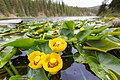 Blooming lily pads, Lost Lake (14342021240).jpg