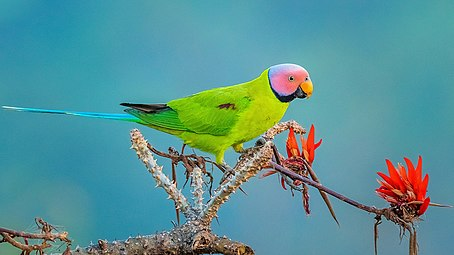 Blossom-Headed Parakeet 2.jpg