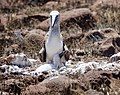 Blue-footed Booby with chick (32848498777).jpg