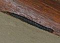 Blue-legged Centipede (Ethmostigmus trigonopodus) eating a bug (12680606973).jpg