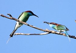 Blue-throated Bee-eater Courtship offering.jpg