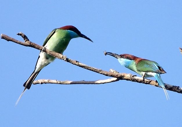Blue-throated Bee-eater Courtship offering