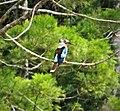 Blue-winged Kookaburra (48704507318).jpg