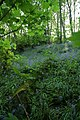 Bluebell woods - geograph.org.uk - 429881.jpg
