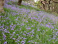 Bluebells at Ynys-hir - Andy Mabbett - 05.JPG