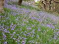 Bluebells at Ynys-hir - Andy Mabbett - 05.JPG