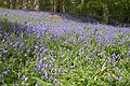 Bluebells in Eaton Park - geograph.org.uk - 166630.jpg