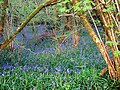 Bluebells in Emborough Grove - geograph.org.uk - 796140.jpg