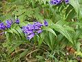 Blume, blau.JPG