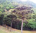 Bois de Natte a Grandes Feuilles - Labourdonnaisia glauca - Ferney Reserve 3.jpg