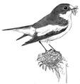 Bonte vliegenvanger Ficedula hypoleuca Jos Zwarts 5.tif