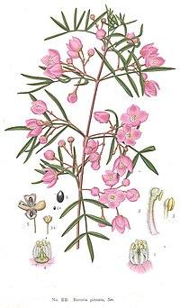 Boronia pinnata-Minchen