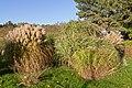 Botanischer Garten Berlin-Dahlem 10-2014 photo26 Themeda triandra.jpg