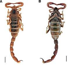 240px brachistosternus ehrenbergii (10.3897 evolsyst.3.37464) figure 7