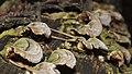 Bracket fungi (26939709985).jpg