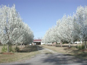 Pyrus calleryana - Cultivated Callery pears in flower