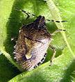 Braune Beerenwanze Dolycoris baccarum.jpg