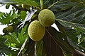 Breadfruit 4.jpg