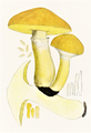 Bresadola - Boletus elegans.png