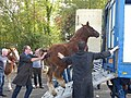 Breton foals solded for meat 05.jpg