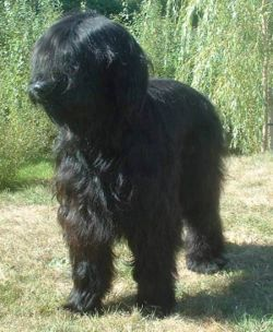 meaning of briard