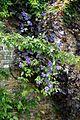 Brick wall clematis at Goodnestone Park Kent England.jpg