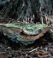Bridgeoporus nobilissimus 750401.jpg