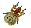 Britishentomologyvolume8Plate142 cutted.png