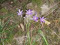 Brodiaea californica004.jpg