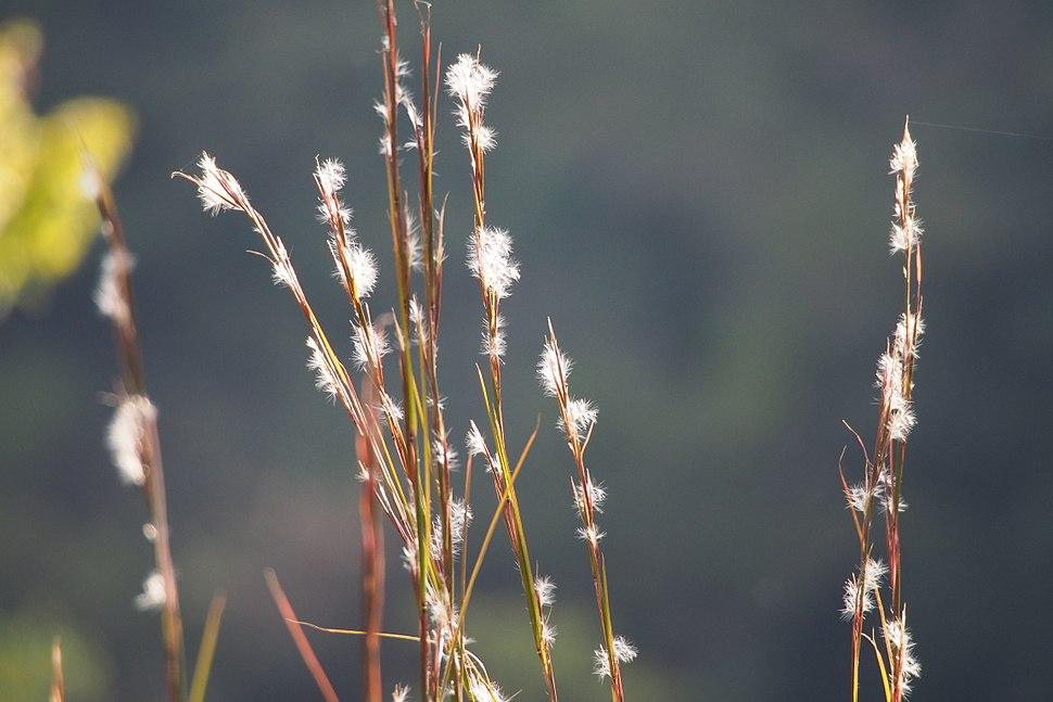 Broomsedge bluestem (Andropogon virginicus) (21787518884)