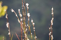 240px broomsedge bluestem (andropogon virginicus) (21787518884)