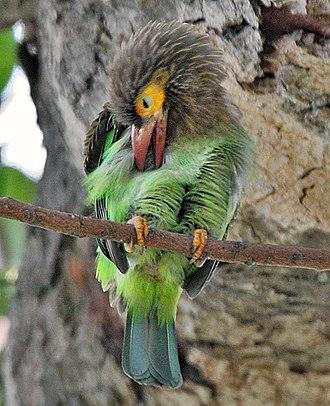 Brown-headed barbet - Image: Brown headed Barbet (Megalaima zeylanica) Preening at Bharatpur I IMG 5300