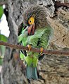 Brown-headed Barbet (Megalaima zeylanica)- Preening at Bharatpur I IMG 5300.jpg