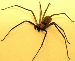 Brown-recluse-2.jpg
