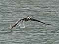 Brown Pelican - Pelecanus occidentalis, Biscayne National Park, Homestead, Florida (40348544472).jpg