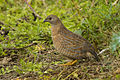 Brown Quail - Atherton - Queensland.jpg