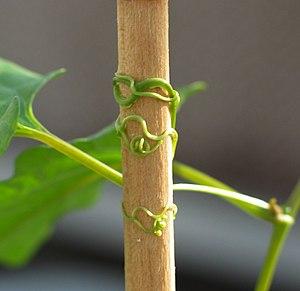 Thigmotropism - Redvine (Brunnichia ovata) tendrils coil upon contact.