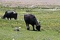 Bubalus bubalis - Water buffalo 07.jpg