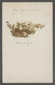 Buccinum undatum - eieren - - Print - Iconographia Zoologica - Special Collections University of Amsterdam - UBAINV0274 085 06 0004.tif