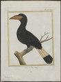 Buceros panini - 1700-1880 - Print - Iconographia Zoologica - Special Collections University of Amsterdam - UBA01 IZ19300087.tif