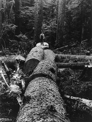 Picea sitchensis - Felled Sitka spruce, Oregon Coast Range, 1918