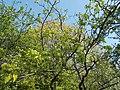 Buda Arboreta. Upper garden. Copenhagen hawthorn (Crataegus intricata). - Budapest District XI.JPG