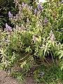 Buddleja salviifolia DUBG 2009-06-03.jpg