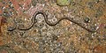 Buff-striped Keelback Amphiesma stolatum by Dr. Raju Kasambe DSCN7460 (14).jpg