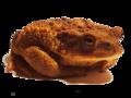 Bufo bufo spinosus 3.png